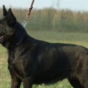 pastore-tedesco-adulto-nero